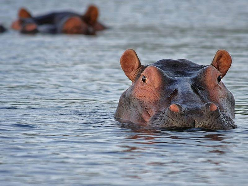 Hippos in the water, Botswana, Africa