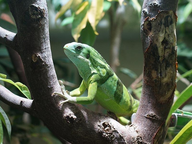 Fiji Iguana