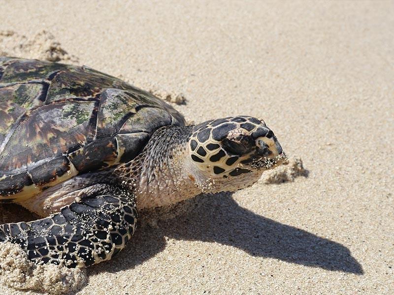 Turtle on Fiji Beach