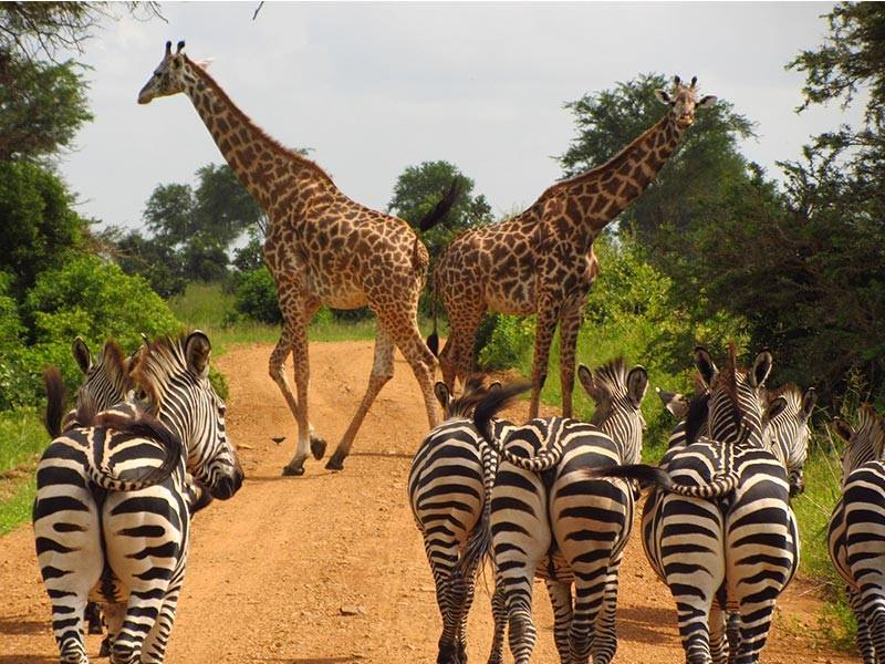 Zebras watch Giraffes on a road in Tanzania, Africa