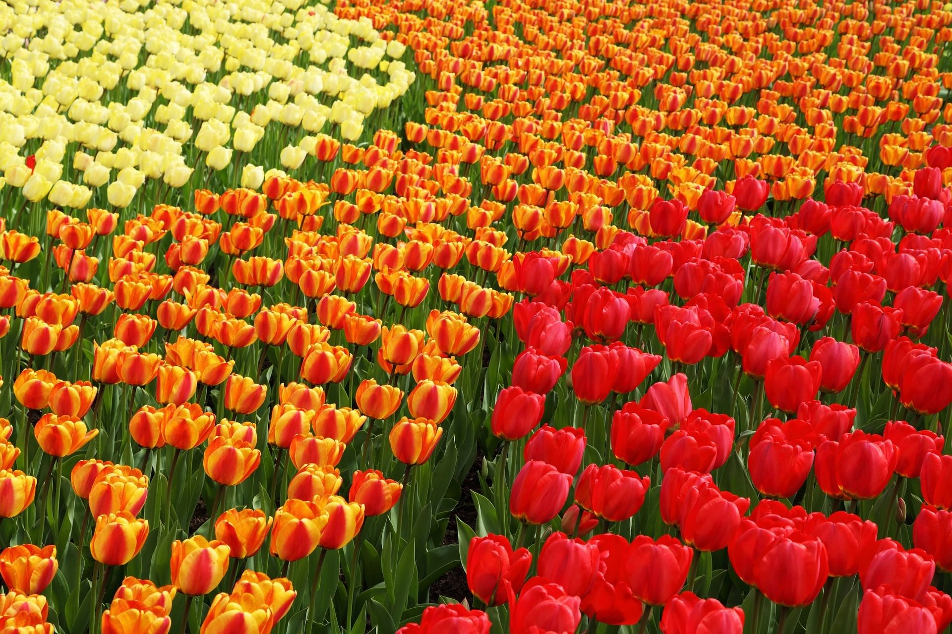 Dutch Tulips, Holland