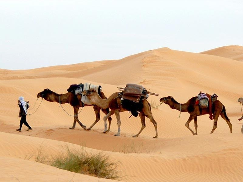 Camels in the Sahara Desert, Tunisia