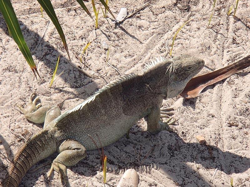 Turks and Caicos Iguana